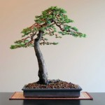 "Juniperus squamata ""Blue Alps"""
