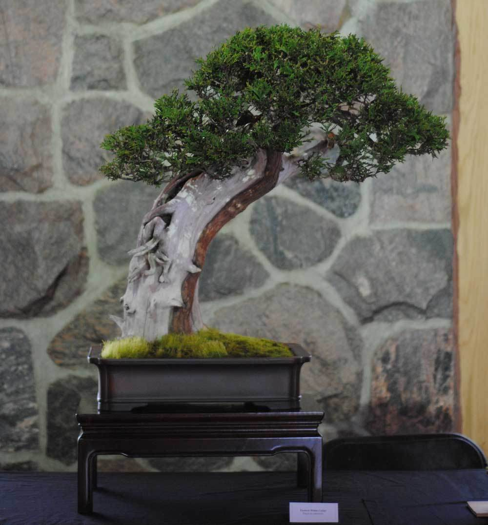 Thuja occidentalis. The owner of this tree probably has the best Thuja bonsai around.