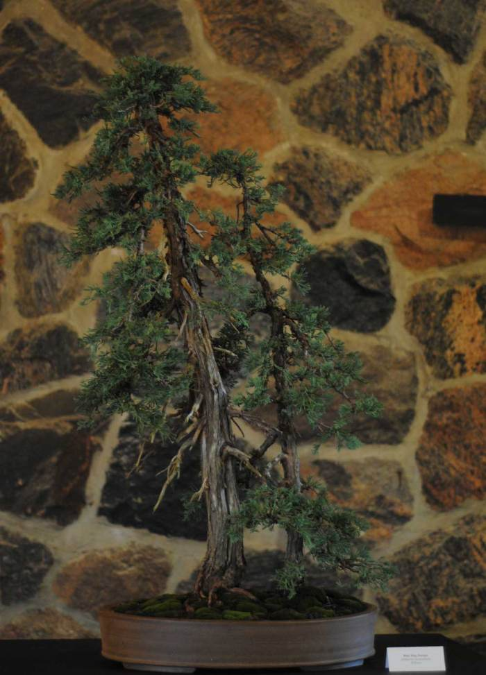 Juniperus horizontalis. The individual trees were grown by Nick Lenz over a long, long period of time. The new owner planted them together last year. At the next repotting, they will be moved closer together.