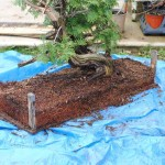 Thuja can develop strong root systems after one growing season if they are watered and fertilized frequently. It helped that this tree was collected with a mostly intact rootball.
