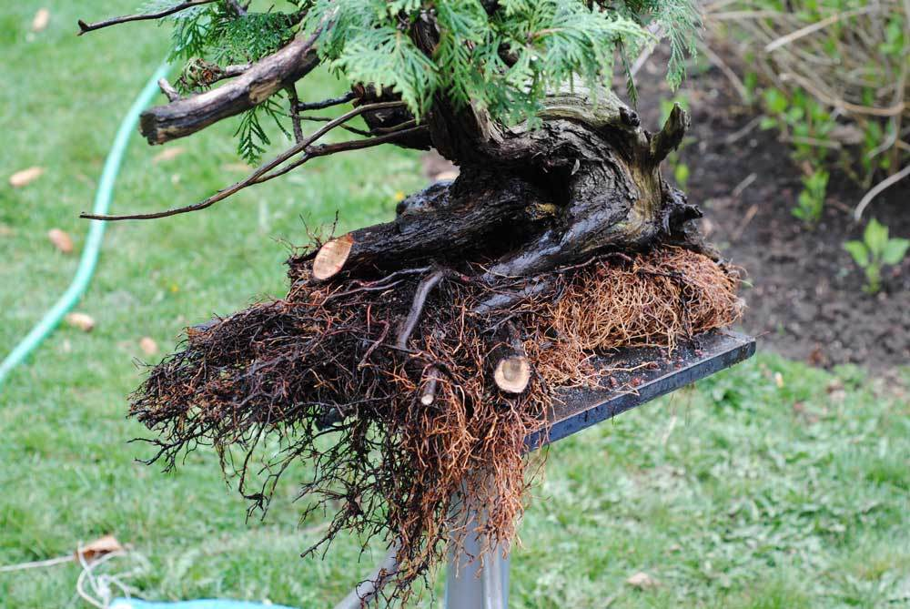 A few large roots were reduced.