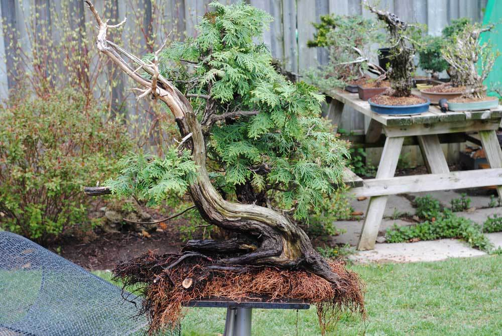 This is as far as I took the rootwork. I would say about 1/3rd of the roots were removed.