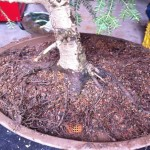 Without removing the tree from the pot, I raked and shook away most of the coarse bonsai soil.