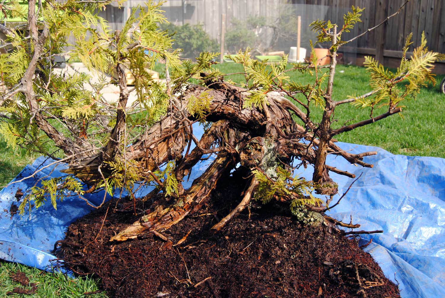 Before root washing and potting up, giving a glimpse into the massive base. This is a good example of the impenetrable root mass that Thujas are often collected with. Hosing out as much muck as possible greatly simplifies watering the containerized tree.