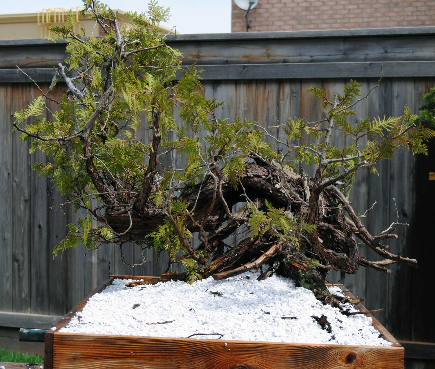 I've been planting all of my larger collected trees in pure perlite for the last couple of years.