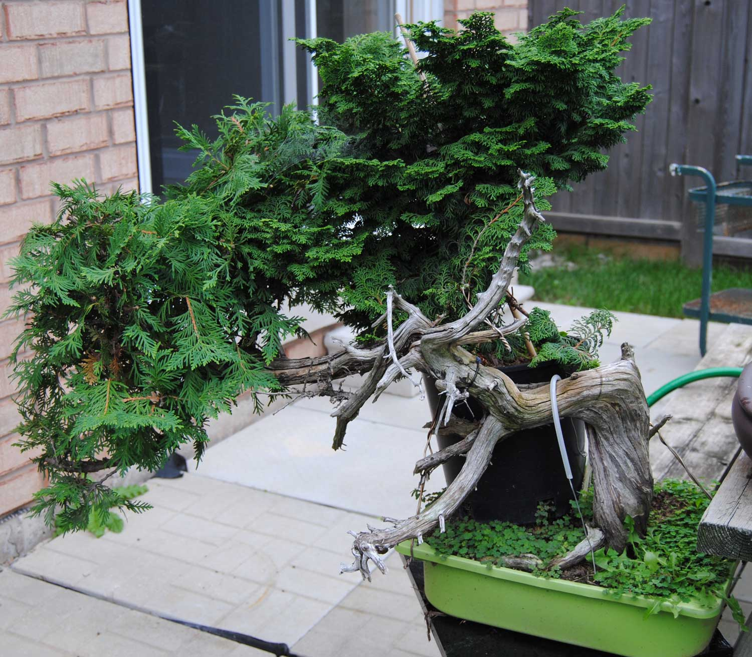 I'm not sure if this tree is even worth all the trouble. Sure, it will be nice if I can make it a bonsai, but this grafting project now seems more about me proving to myself that it can be done.
