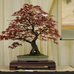 "Japanese Maple ""Bloodgood"" by Nick Lenz"