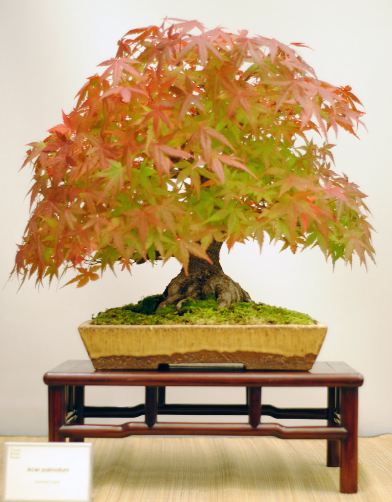 Very nice chuhin Japanese maple, trained by one of TBS's senior members for years from either a cutting or an air layer.