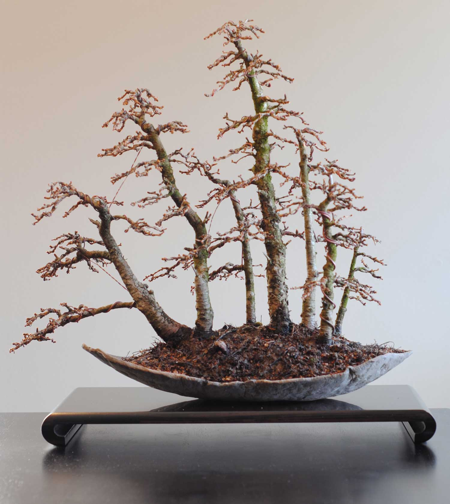 Wiring Larch Bonsai Guide And Troubleshooting Of Diagram Pioneer Deh P3500 Group Picture Image By Tag Lakeshore In Toronto Canada Rh Lakeshorebonsai Com Oak Birch