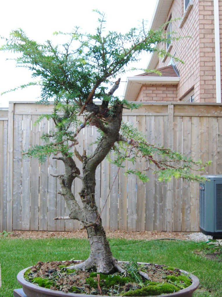 Last summer I was trying to fully style the tree and had to stop at this point after I tore a major limb that supported two major branches - the first branch on the left, and the back branch,