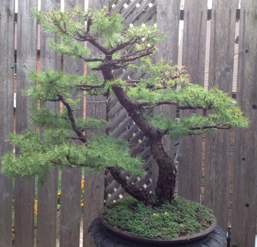 Stolen American larch bonsai.