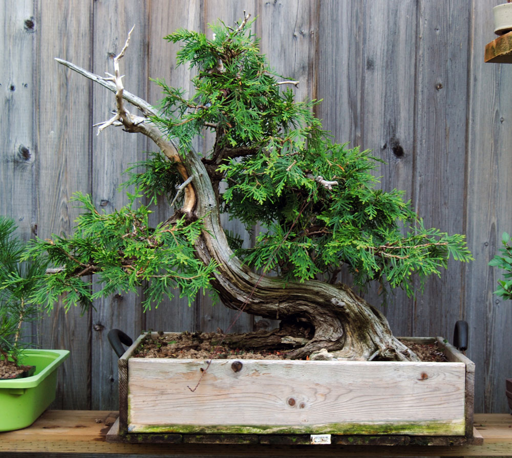 Thuja Lakeshore Bonsai In Toronto Canada Wiring Maple Some Major Pruning And Coarse Was Done This Year To Open Up The Foliage Set Basic Structure Of Secondary Branches