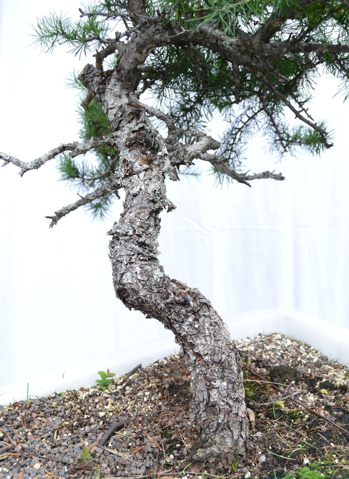 Gorgeous Larix laricina yamadori to be offered at the Bazaar.