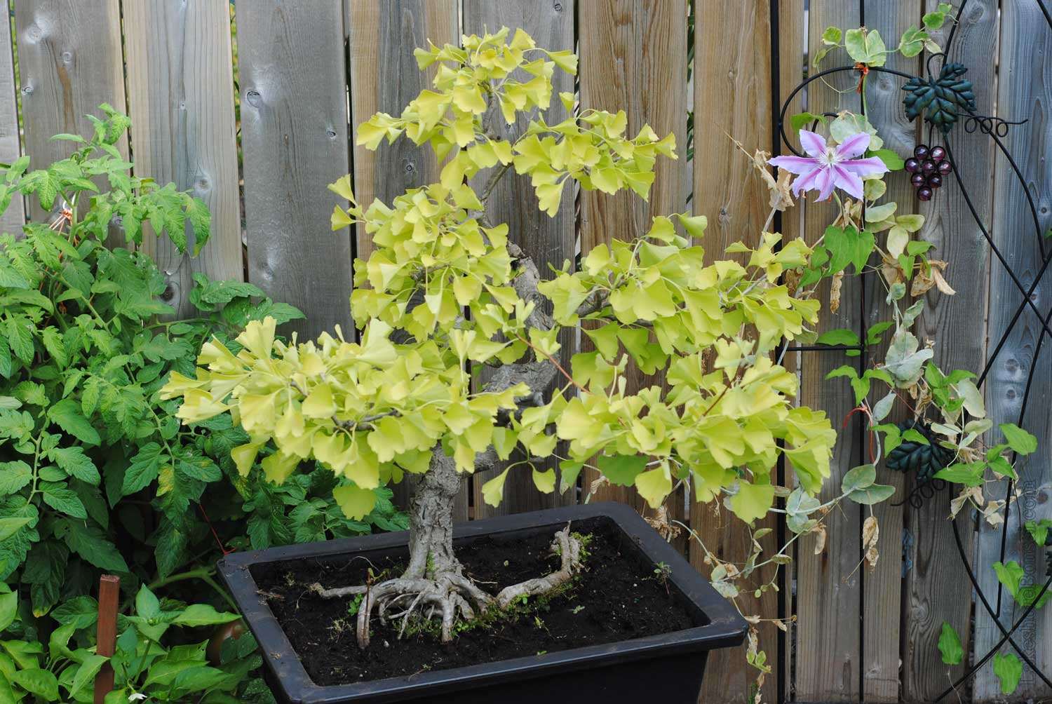 Ginkgo biloba, as purchased. Again, showing obvious signs of stress. You can clearly see the pure garden soil these trees are potted in.