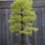 Second larch, as purchased. It is never a good sign to see fall colour in August. However, the tree had set winter buds so I though it was worth a chance.