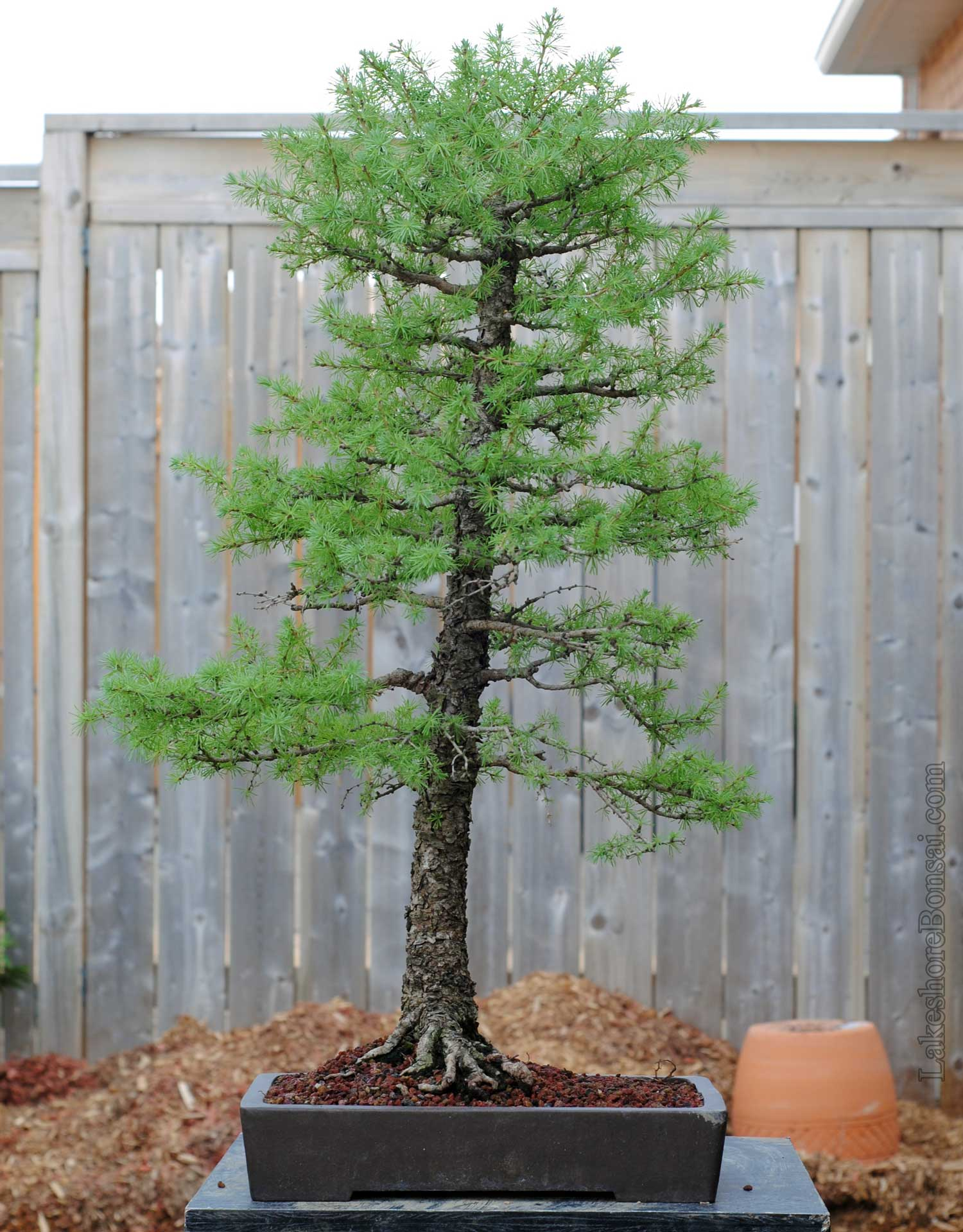 A testament to the strength of larches, the tree is budding out nicely after transplanting. I have a feeling this might be Japanese larch based on the bark and needles. Regardless, it has been grown in a container for a very long time.