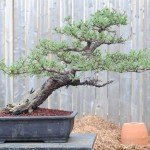 Budding out nicely this spring. A cool tree that is begging to be planted on a stone slab.