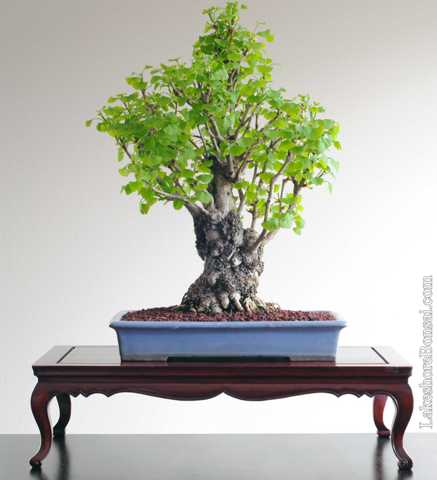Taxus Lakeshore Bonsai In Toronto Canada Wiring Yew Ginkgo Biloba Chi 7 Years Development From Imported Raw Material Probably Started As An Air Layer Japan