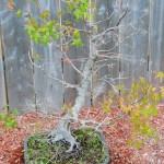 Lastly, the Japanese maple as purchased, clearly extremely weak, already having lost most of the branches. Very, very root bound.