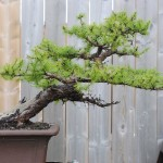 American larch, as purchased last summer. This was definitely the strongest of the trees I bought, but still was obviously weak.