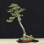 Pinus banksiana by David J of the Toronto Bonsai Society. Perhaps the finest example of a Jack Pine bonsai, and one of my personal favourite trees.