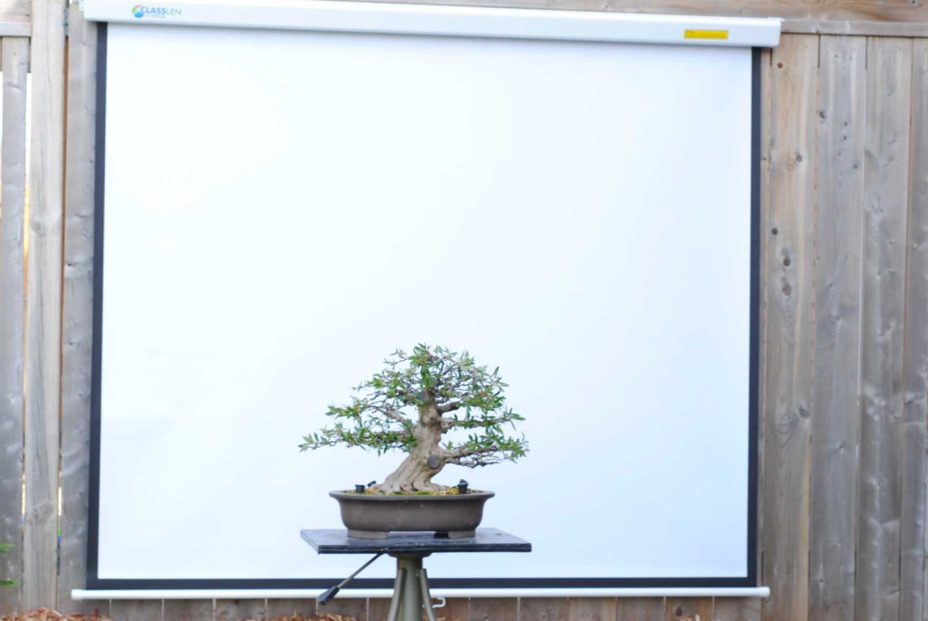 The backdrop is just a roll up projector screen which I can hang on my fence. This makes it much easier for me to photograph my larger trees (of which I have more every year, it seems).