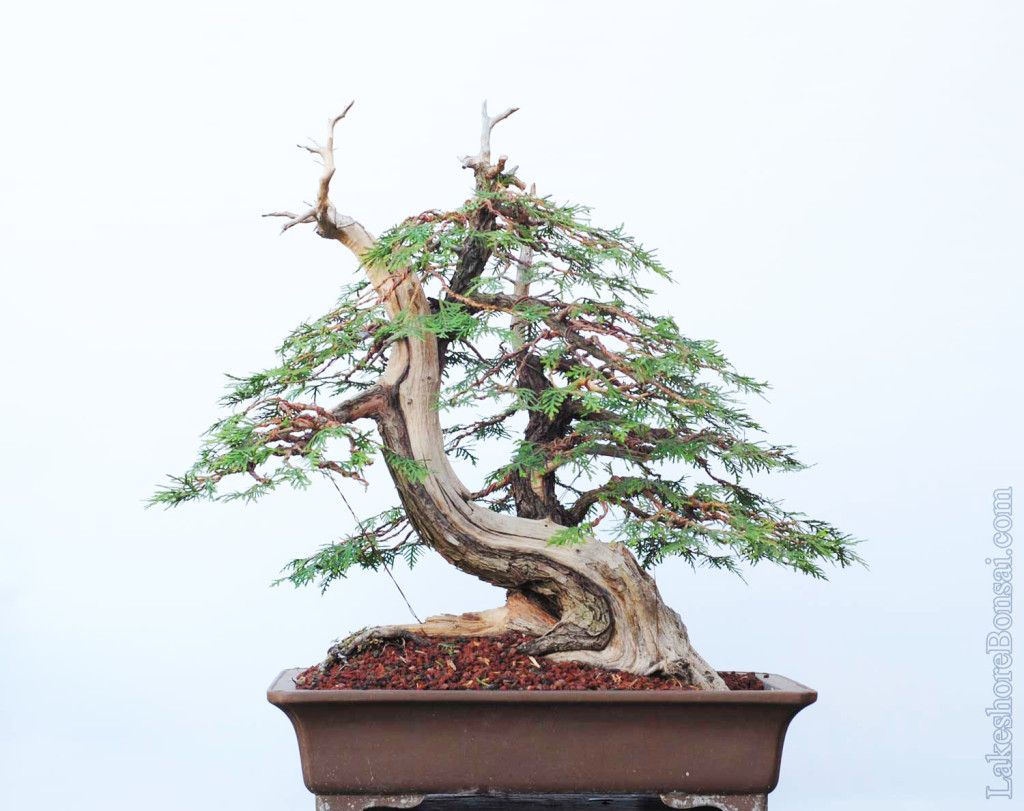 This tree is big, about 65 cm tall from the lip of the pot, and weighs about 100 lbs.