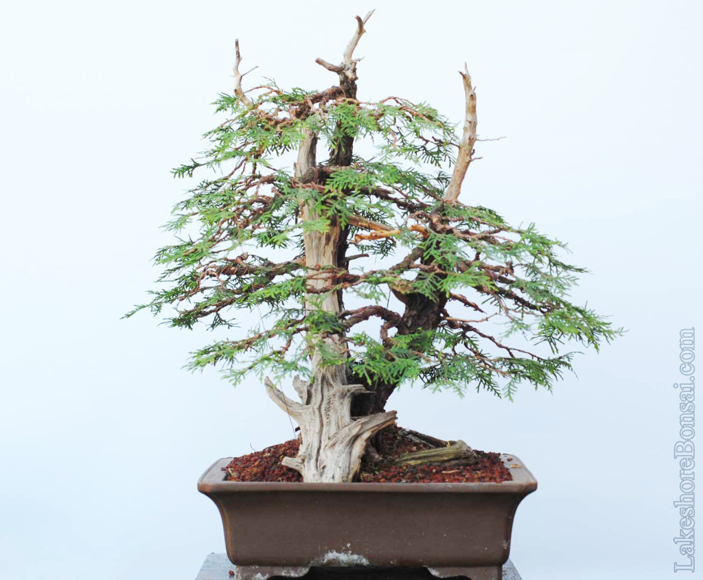 Bonsai Lakeshore In Toronto Canada Wiring Your Tree Ive Always Struggled With The Flatness Of Main Trunk But Yamadori Have Their Faults