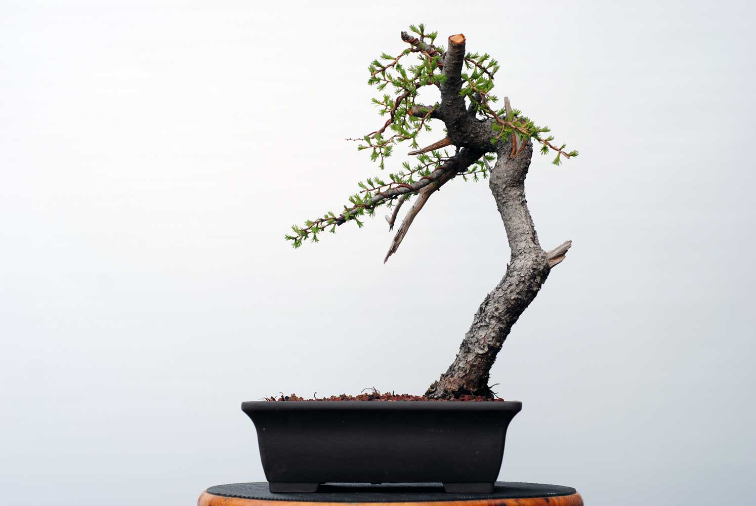 Lakeshore Bonsai In Toronto Canada Wiring For Beginners This Sinuous Larch Was Styled A Couple Of Weeks Ago Massive Root Further