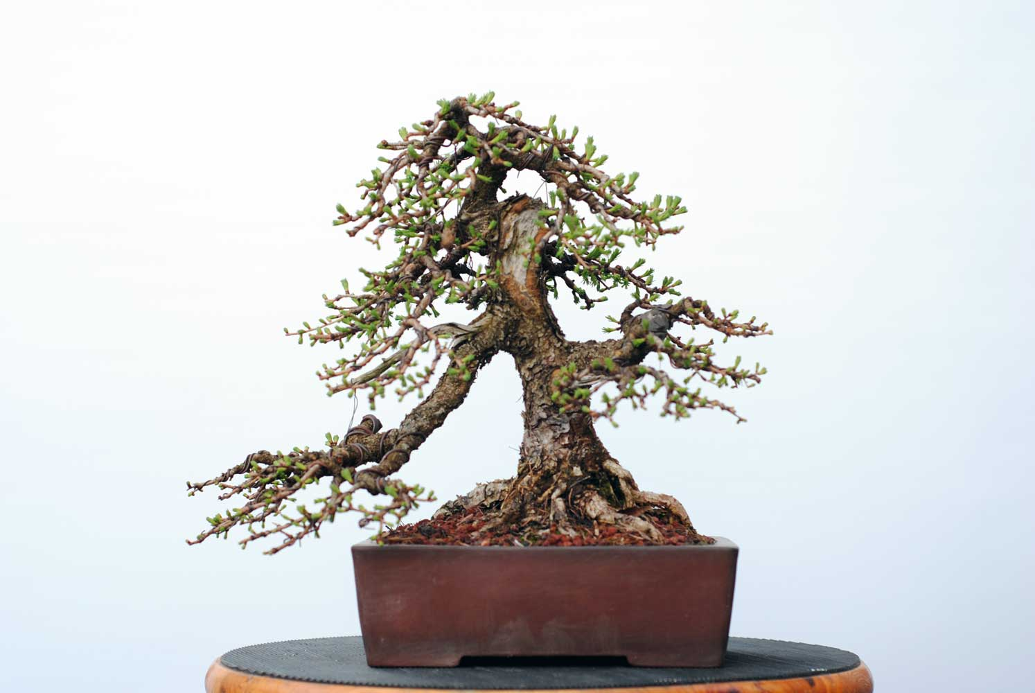 Tamarack Lakeshore Bonsai In Toronto Canada Wiring Demo This Tree Was Styled For The First Time Last Spring And Is Developing Quickly