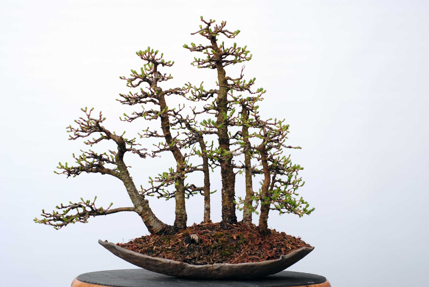 Lakeshore Bonsai In Toronto Canada Wiring Wisteria Pruning And Wire Removal Were The Normal Spring Chores For This Little Forest