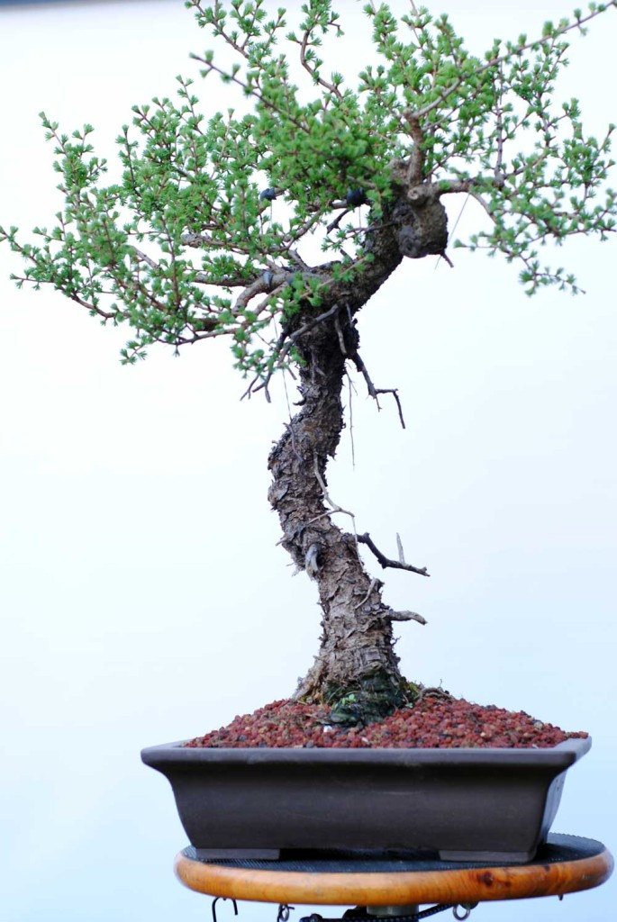 This tree was collected in 2012 and had major root operations in 2014 and again in 2016. Finally, it fits into a bonsai pot. Last year some rough structural work was done. This year will focus on pruning and developing branching so it can be styled next spring.
