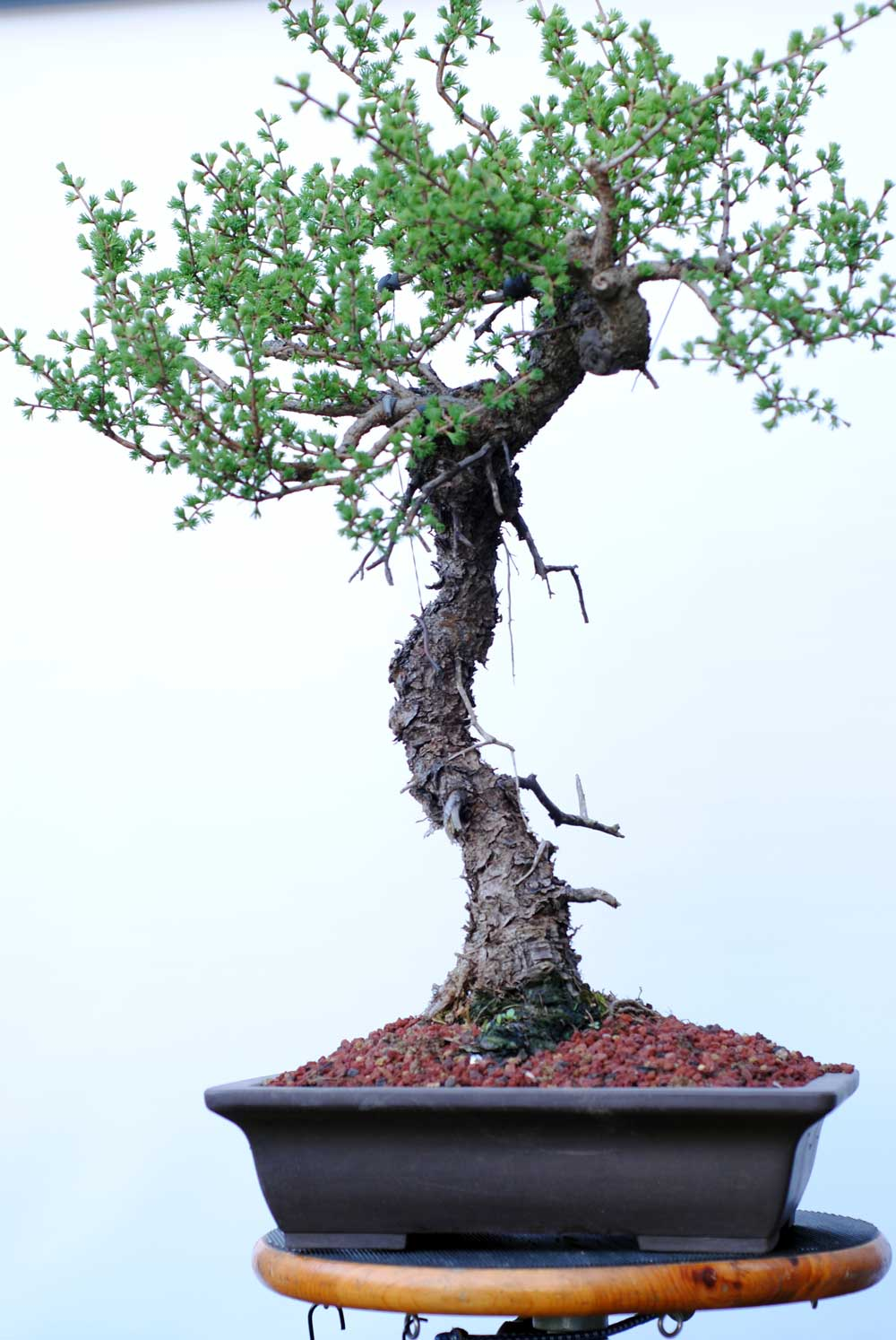 Lakeshore Bonsai In Toronto Canada Wiring Lesson This Tree Was Collected 2012 And Had Major Root Operations 2014 Again